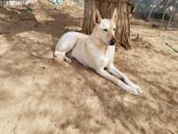 Handsome JackJack is a white German Shepherd about 7