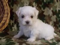 Jackky teacup maltese puppies.. for info,make these