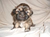 Pure Bred Male Shih Tzu Puppy. He was born January