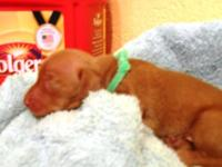 Male, red, Kaninchen sized Miniature Dachshund Puppy