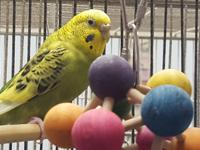 Jade is a green female budgie with a mysterious