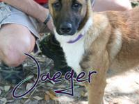 Jaeger is a young Belgian Malinois mix male rescued