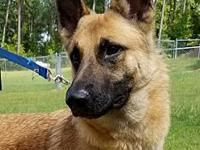 Jaeger's story Jaeger is a stunning GSD about 2 years