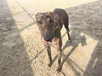 Jafar's story This handsome 2 year old brindle male is