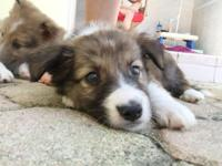 Jake is a 8 week old Border Collie / Sheltie Mix pup.