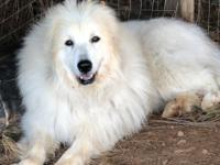 Jake is a young male Great Pyrenees. He's about 2-3