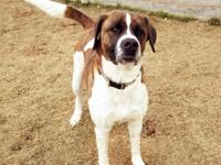 Jake is a 3 yr short hair St. Bernard that came to us