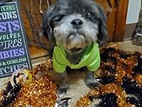 My story Jake is a 7-8 year old shih tsu mix that