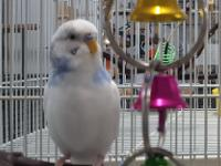James, a male budgie and his friend Vivian a female
