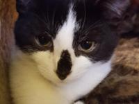 James is a 5 month old domestic short hair that would