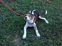 Janie's story Young Beagle mix Janie, born in June, is