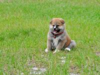 We have newborn 5 Akita Inu puppies. Only 3 females and