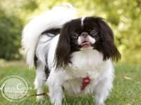 Japanese Chin - Florrie - Small - Adult - Female - Dog