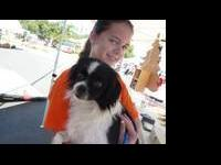 Japanese Chin - Gizmo - Small - Adult - Male - Dog Hi