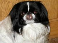 Japanese Chin - Twinkie - Small - Young - Female - Dog