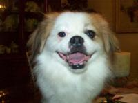About 18 mo old Japanese chin Male dog. red and white