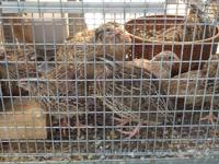 For Sale: 12+ week old Japanese Coturnix Quail (male