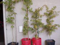 Why spend more than $50 to buy a Japanese maple tree