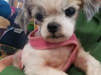 Jasmine is a sweet little shih tzu female senior around