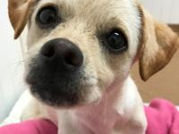 Jasmine is an adorable 11 month old Chihuahua mix who