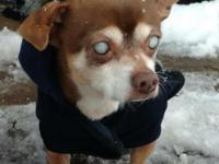 JASMINE is a 12 yr old Chihuahua who came to us after