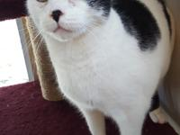 Jasper is a black and white, neutered male domestic