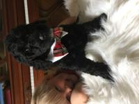 'Jasper ' is an amazing and smart Standard Poodle -