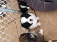 I have two make Jatzu puppies available (Japanese