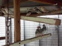 We have 15 java birds for sale each for $25 if you