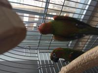 Java & Jazzy are a bonded pair of Hybrid Conures. They