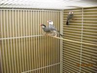 I have a few Java Rive Finches, both males and females,