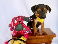 Breed: Yorkie/Min Pin Mix Sex: male Weight: 3lbs Size: