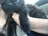My story Javi is a 10 week old Maine Coon mix. He was