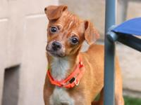 Javier, a Chihuahua Mix for Adoption   Do you want to