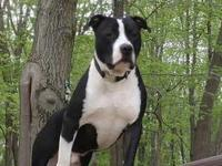 Jax *FOSTER*'s story American Pit Bull Terrier mix 3