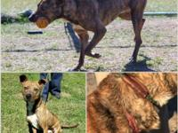 Shy but sweet little brindle boyBio and more photos
