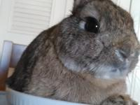 JEEVES IS A DARLING NETHERLAND DWARF.  JEEVES HAD AN