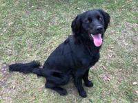 Jemma, a Flat Coat Retriever/spaniel mix is