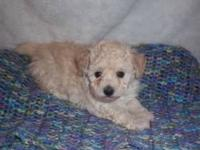 Jenna is a precious female Toy Poodle puppy! We