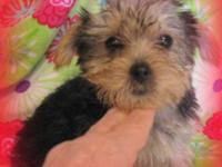 Jenna is a real caring sweetie. She is 3/4 Yorkie and