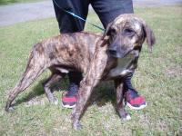 3-4 yr old male Plott hound mix with an adorable Bob