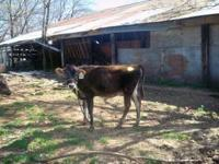 I have a young Jersey heifer I recently purchased at a