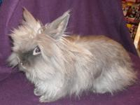Jersey Wooly - Jaxson - Medium - Adult - Male - Rabbit