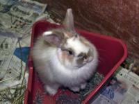 Jersey Wooly - Pongo - Medium - Adult - Male - Rabbit