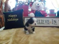 **Holiday Special** Our Shih-tzu puppies are normally