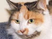 Jessie's story Jessie is a simply stunning calico cat.