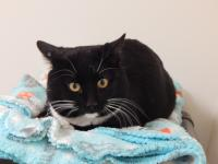 This handsome 2 year old tuxedo is a new arrival.  He