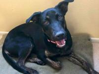 Jessie is a 2 year old, Lab/Shepherd mix. She came to