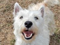 Jester is a 7-month-old Westie replete with non-stop