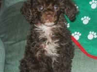CKC reg. toy, male, poodle puppy for adoption. Groomed